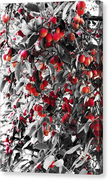 Color Of Apples Canvas Print by Matt Lewis