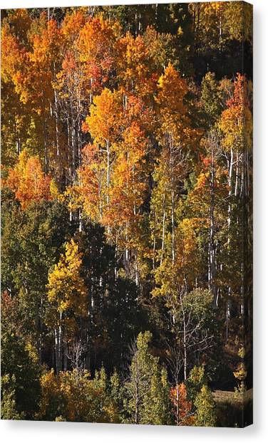 Colorado Flaming Aspen Canvas Print