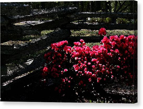 Colorful Azaleas Canvas Print