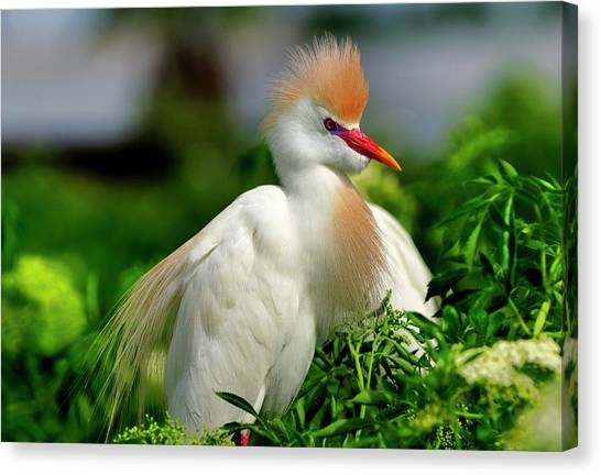 Colorful Cattle Egret Canvas Print