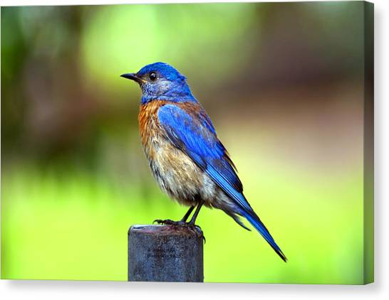 Colorful - Western Bluebird Canvas Print