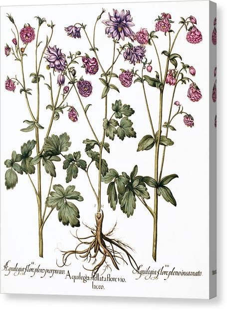 Columbine Flowers Canvas Print by Georgette Douwma
