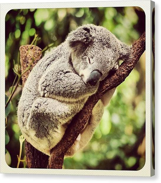 Koala Canvas Print - Comfy Koala by Addie Dordoma