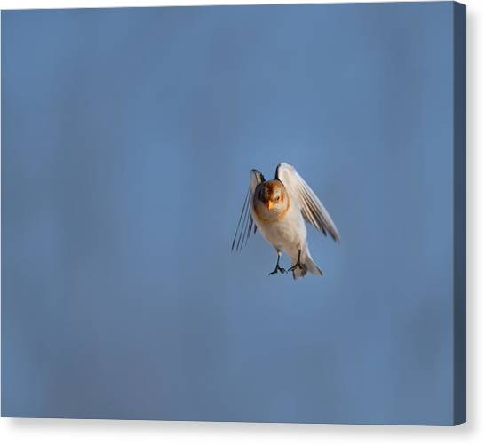 Buntings Canvas Print - Coming In For A Landing by Susan Capuano
