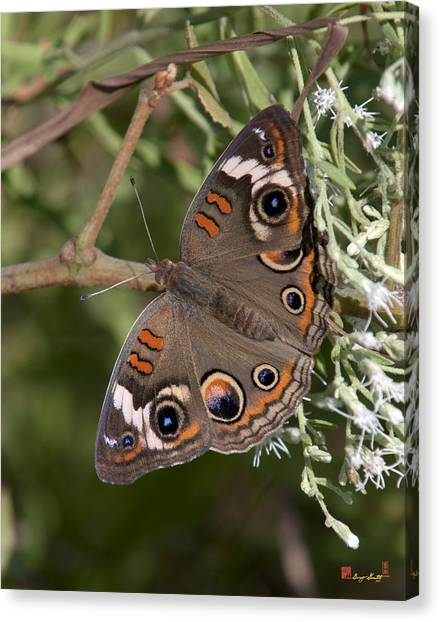 Common Buckeye Butterfly Din182 Canvas Print