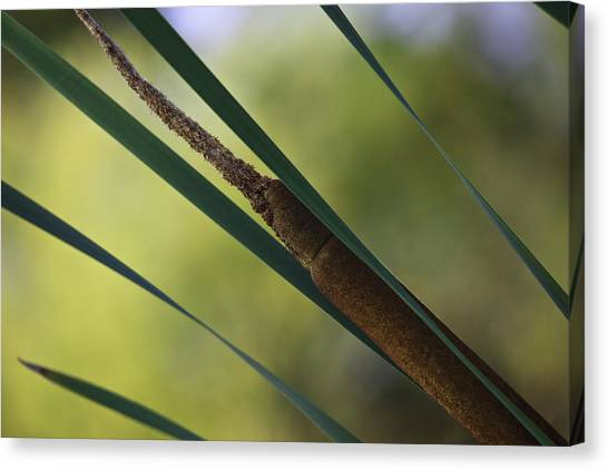 Canvas Print featuring the photograph Common Cattail by Perla Copernik