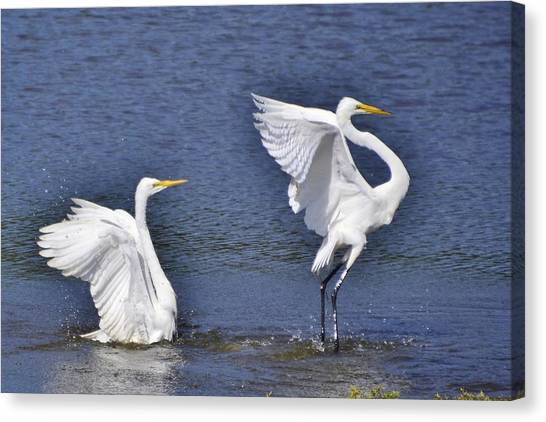 Common Egrets Canvas Print