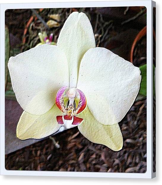 Baby Canvas Print - #common #orchid #florida #moms #garden by Amber Baby