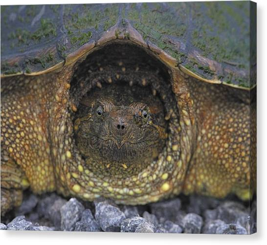 Snapping Turtles Canvas Print - Common Snapping Turtle by Tony Beck