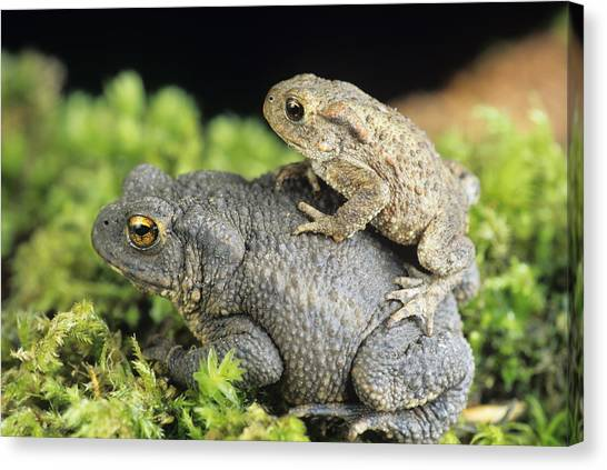 Common Toads Mating Canvas Print by David Aubrey
