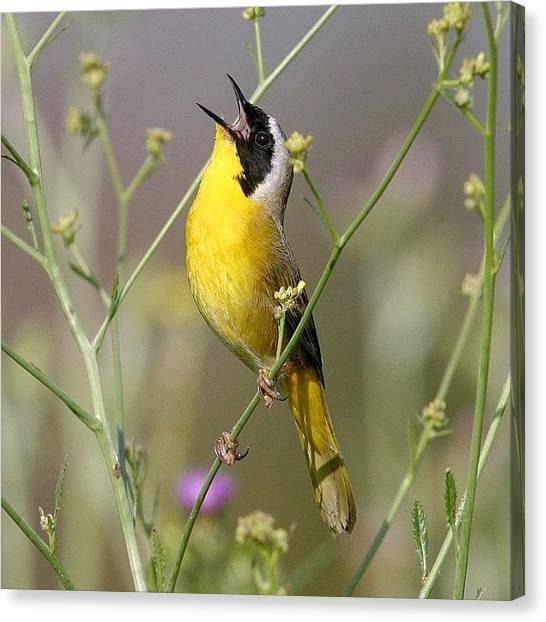 Songbirds Canvas Print - #commonyellowthroat #birds #birding by Raul Roa