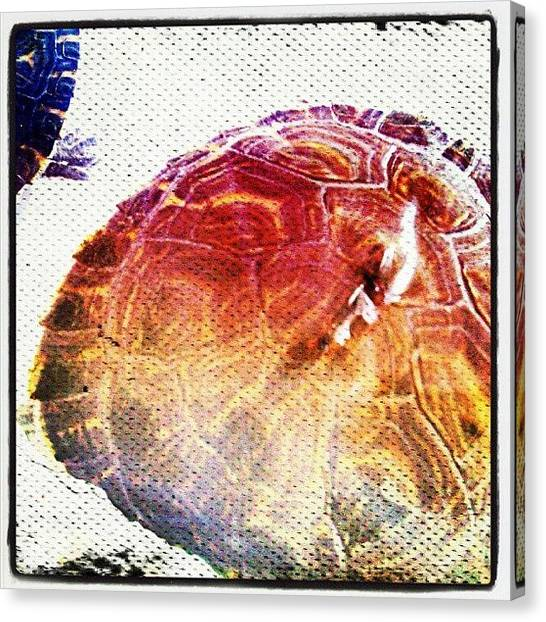 Tortoises Canvas Print - Conchatortuga #instagram #turtle by Daniel Suarez
