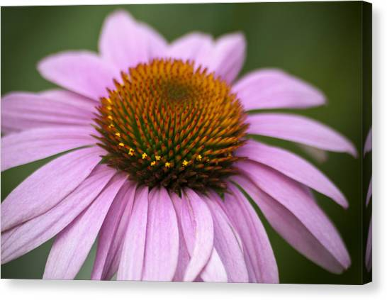 Coneflower Closeup Canvas Print