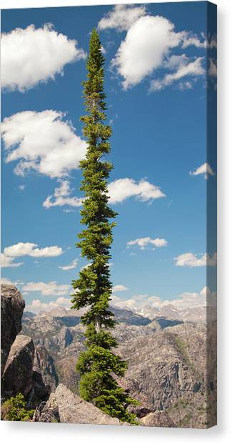 Teton National Forest Canvas Print - Wind River Conifer Tree  by John Stephens