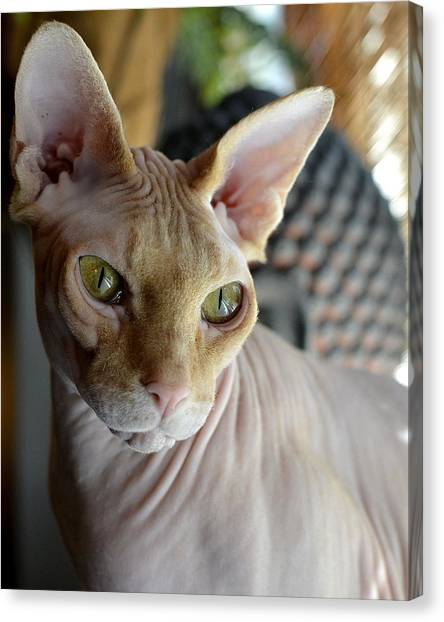 Contemplative Sphynx Canvas Print