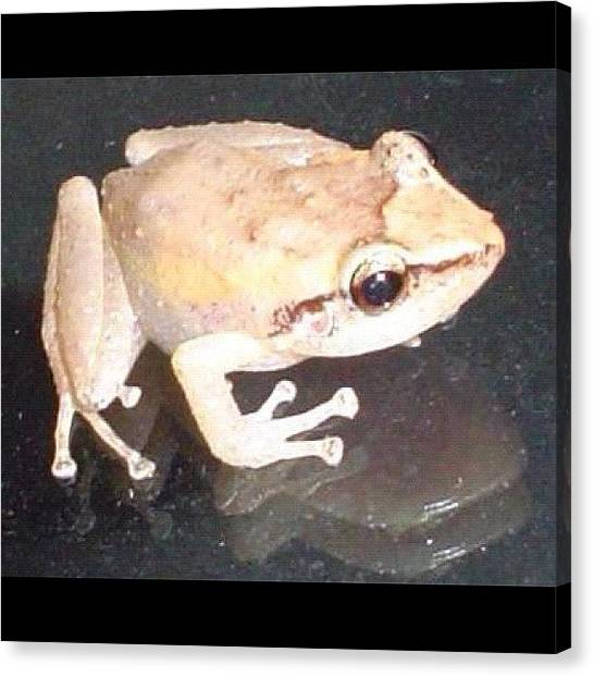 Frogs Canvas Print - Coqui From Puerto Rico by Luis Alberto