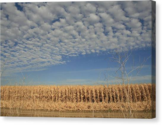 Corn Fields In West Canvas Print