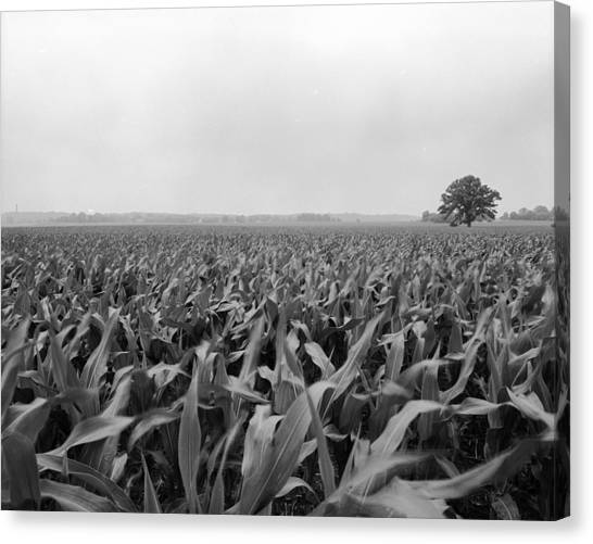 Corn Flakes On The Stem Canvas Print by Jan W Faul