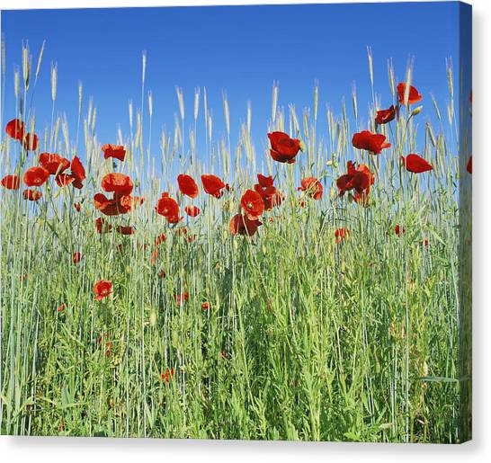 Corn Poppies (papaver Rhoeas) Canvas Print by Bjorn Svensson