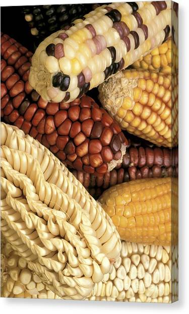 Indian Corn Canvas Print - Corn by Science Source