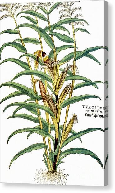Indian Corn Canvas Print - Corn (zea Mays), 1542 by Granger