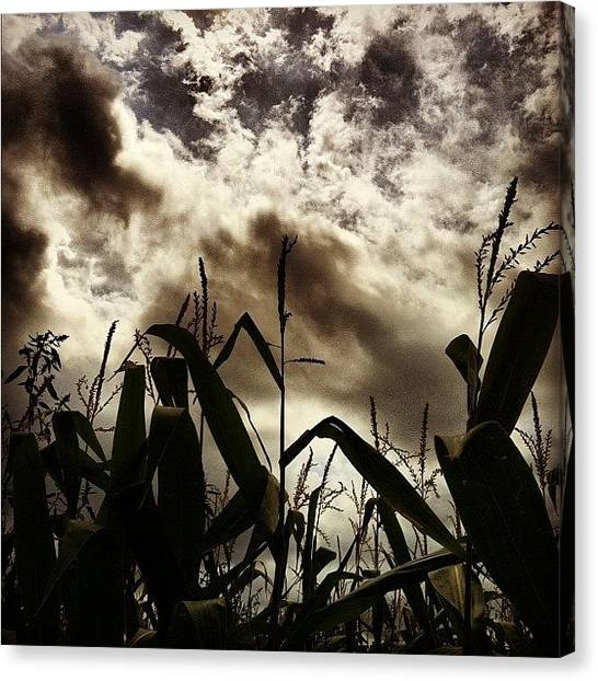 Vineyard Canvas Print - Cornfields At Sherwood House Vineyards by Arnab Mukherjee