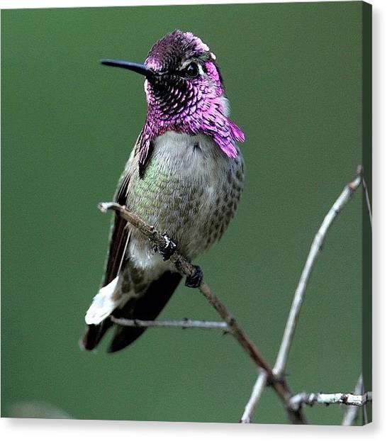 Hummingbirds Canvas Print - #costashummingbird #hummingbird #purple by Raul Roa