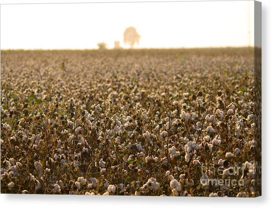 Cotton Field Donana Spain Canvas Print by Perry Van Munster