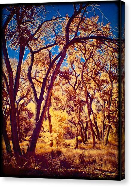 Cottonwoods Canvas Print