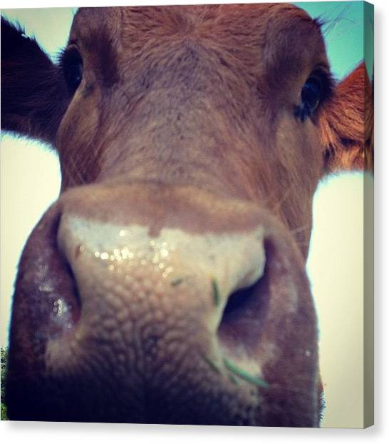 Farm Animals Canvas Print - #cow #animal #animals #life #farmlife by Fay Pead
