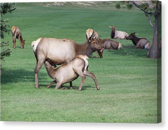 Cow Elk Feeding Calf Canvas Print by Richard Adams