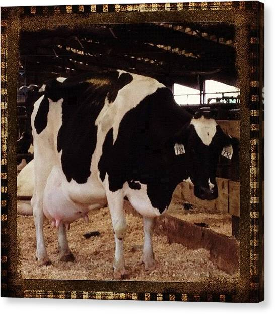 Milk Canvas Print - #cow #farm #farmlife #barn #milk by Danielle Mcneil