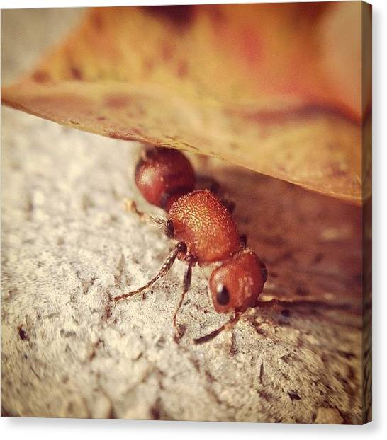 Ants Canvas Print - #cowkiller #baby #ant #hissing by Charles H