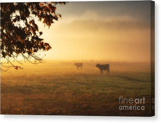 Cows In A Foggy Field Canvas Print