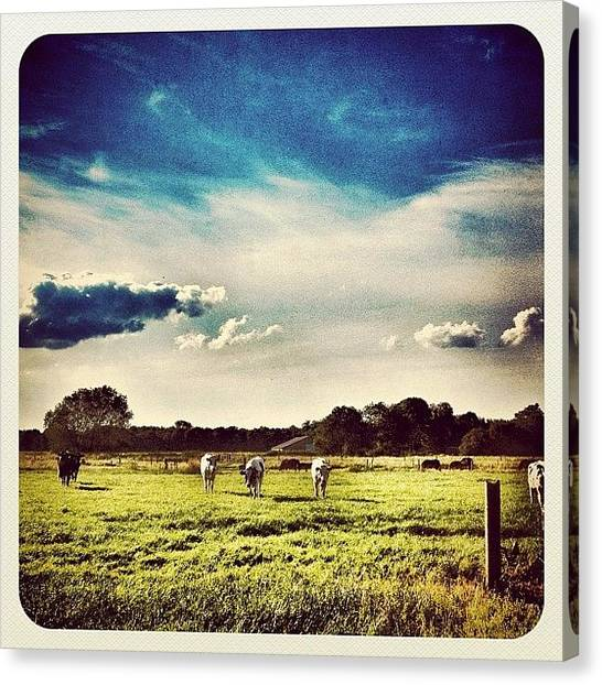 Dutch Canvas Print - #cows In The Field by Wilbert Claessens