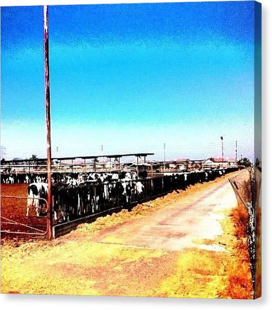 Milk Canvas Print - Cows by Rick  Annette