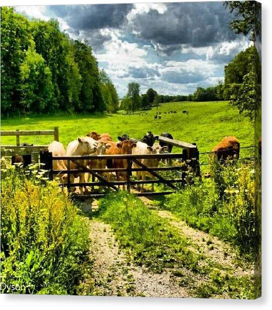 Back Canvas Print - #cows #staring Right #back At #me Taken by Craig Dyson