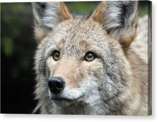 Coyote - 0031 Canvas Print