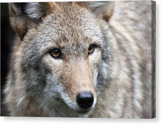 Coyote - 0034 Canvas Print