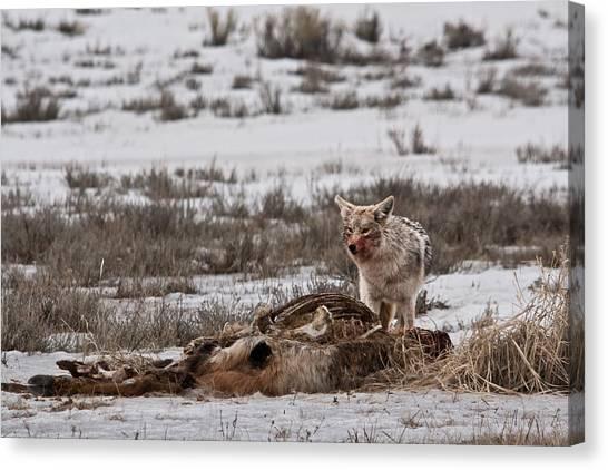 Coyote National Elk Refuge  Canvas Print