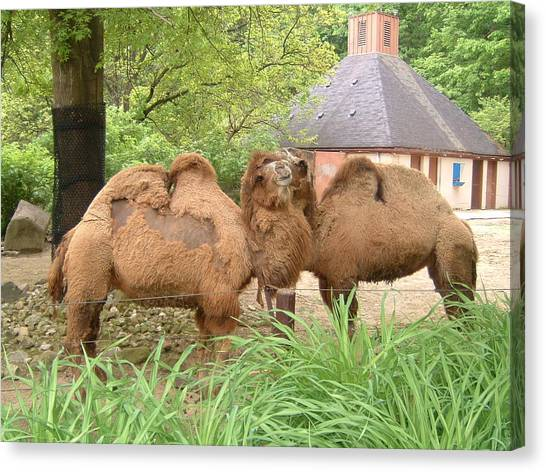 Cozy Camels - Cleveland Metro Zoo 1 Canvas Print by S Taylor