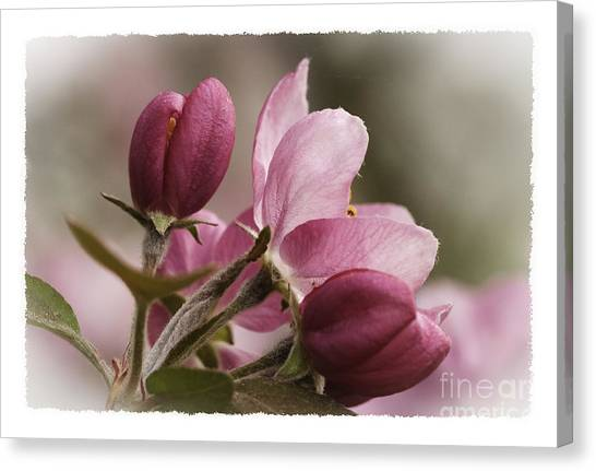 Crab Apple Blossoms II Canvas Print