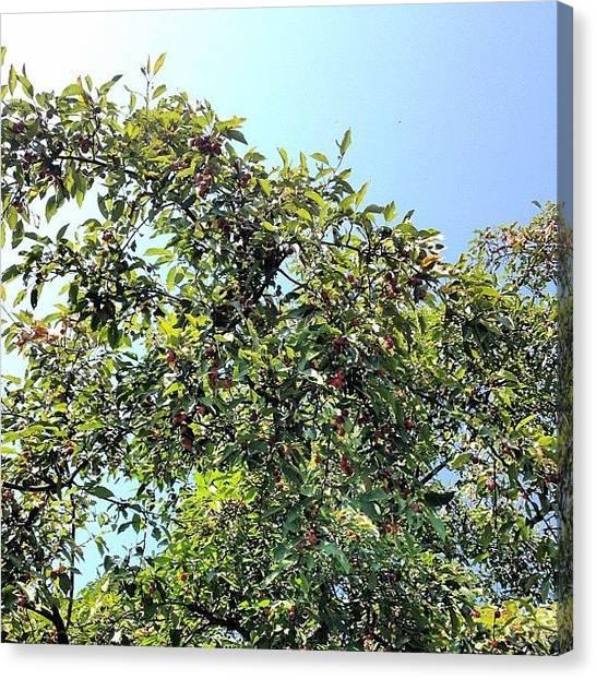 Apple Tree Canvas Print - Crabapple Tree.  #trees #sky #woodland by Shannon Ferguson