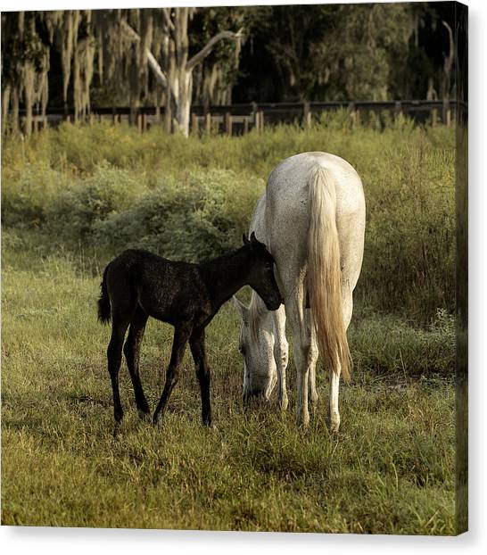 Cracker Foal And Mare Canvas Print