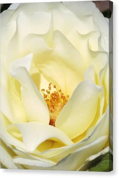 Cream Rose  Canvas Print