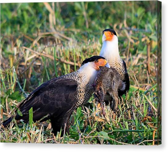 Crested Caracara With Rabbit Canvas Print