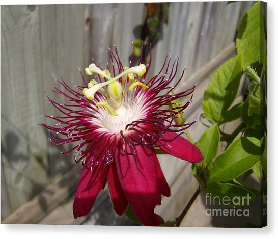 Crimson Passion Flower Canvas Print by Jane Whyte
