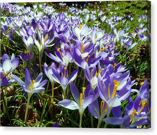 Crocuses Canvas Print by Janice Drew