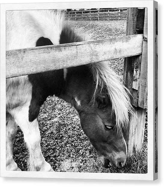Ponies Canvas Print - Cuddles! @callypony #gelding #friends by Caitlin Hay