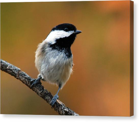 Curious Black-capped Chickadee Canvas Print